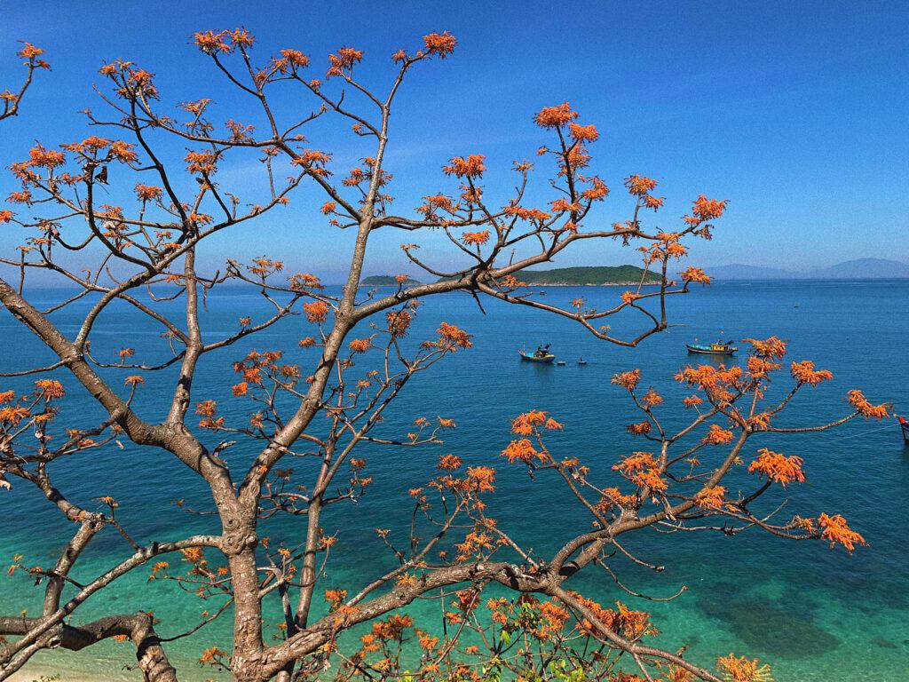 Những bông hoa ngô đồng tại Cù Lao Chàm đã khiến du khách xao xuyến mãi không thôi